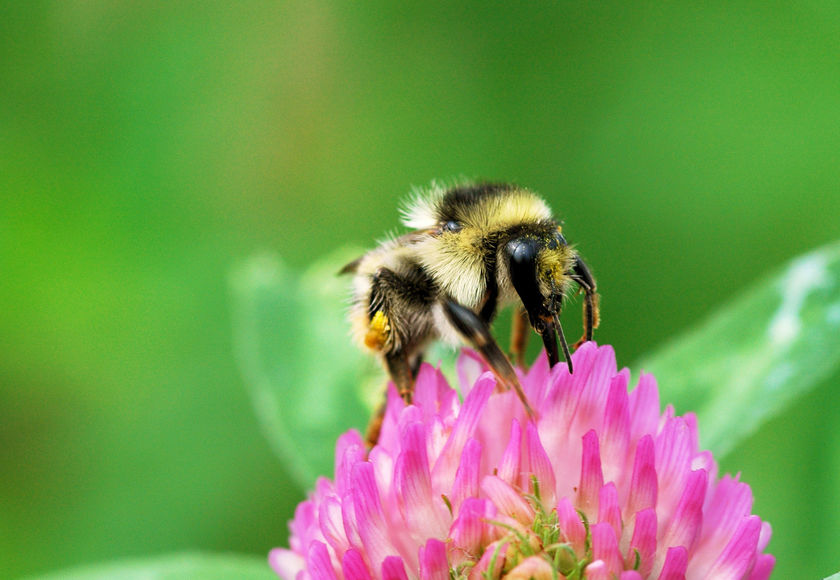 Bumblebee Conservation Trust Environment Shrill Carder Bee Bombus Slyvarum Levels